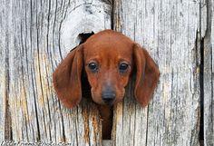 Curious Dachshund.