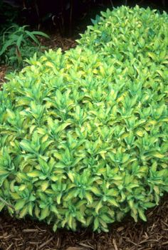 Sedum alboroseum 'Mediovariegatum' (Gold-Striped Stonecrop)