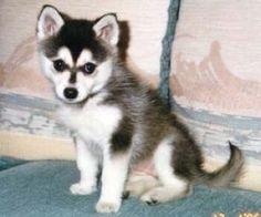An alaskan klee kai (mini husky). WANT!!!