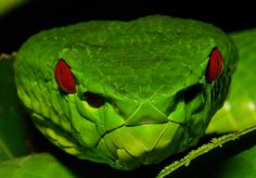 Chinese Green Tree Viper Snake