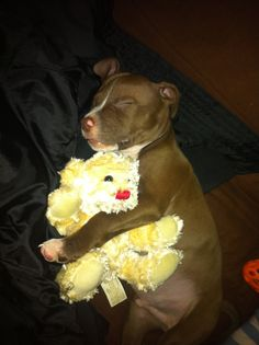 Little puppy pit bull snuggling her teddy!