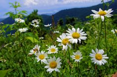 Daisies along the Blue Ridge Parkway near Asheville, NC