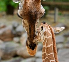 baby giraffe born at Utah's Hogle zoo nuzzling with her mom