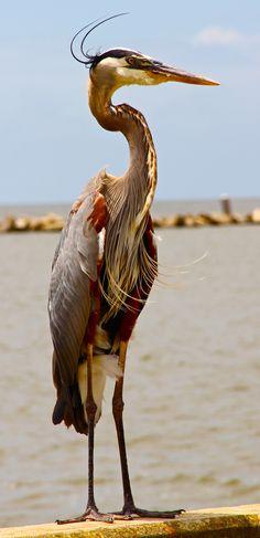 blue heron....by everyday life....vita