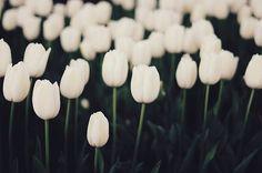white tulips.