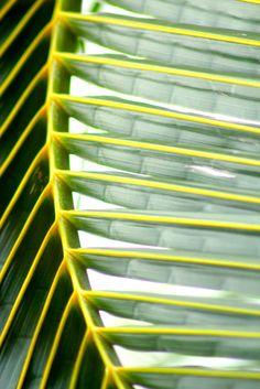 Coconut leaf.
