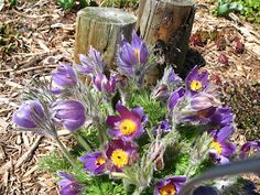 """""""Pulsatilla vulgaris (European Pasque Flower). I love this flower! In it's native form it is usually the first flower to bloom in the Spring, usually March. It prefers an east-facing slope to take full advantage of the warm Spring sun. It is a reseeder and a good naturalizer."""" -Bev's Colorado Garden blog"""