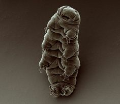 Tardigrades: The First Animal To Survive The Vacuum Of Space