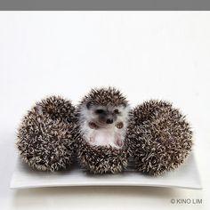 Hedgehogs by kino lim, via Flickr