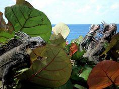 Iguana's on St. Thomas by adonofrio