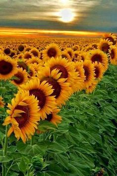 Sunflowers are awesome