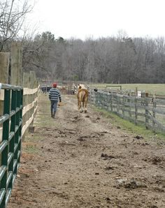 The draft horse heads out to the fields with the intern at Woodcrest Farm.