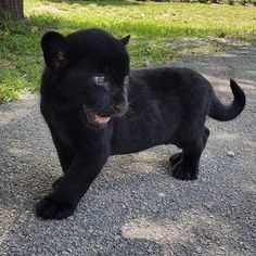 baby black panther cub