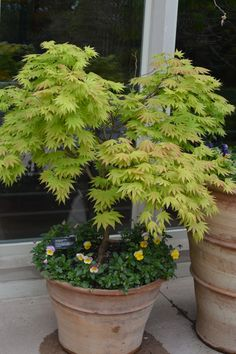 A container garden in front of Thornhill Education Center showcases an Autumn moon maple.