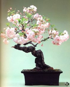 plant, bonsai trees, pink flowers, flower bonsai, blossom trees