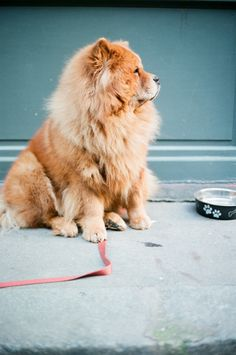 love Chows !