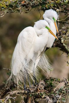 Great Egret pair, St, Augustine, Florida. To see them all rising up at dawn as your boat glides into their creek...amazing!