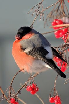 A Bullfinch with bare branches and red berries.