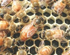 DIY Backyard Beekeeping: A Guide for Beginners  If you can garden, you can be a beekeeper. Here are the first steps: the questions to ask, the equipment you'll need and how to choose the right bees.  By Kim Flottum