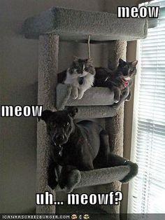 Meowf?