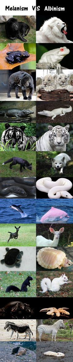 "Melanism Vs. Albinism - Let me amend this.  Add in ""Leucism"".  Leucistics are white but with pigmented instead of pink eyes.  They sometimes have patched body color as well."