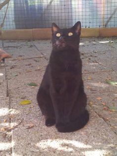 Adoption Moyen chat Adulte - SPA Vauclusienne - Refuge du Petit Pigeolet - Vaucluse - AFTER  Européen, mâle, 4 ans, castré,  très affectueux, adore les câlins
