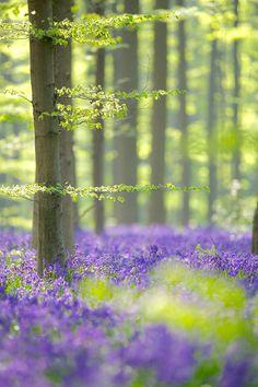nature, tree, lavender fields, purple flowers, forest, van oosterhout, flower fields, place, beauty queens