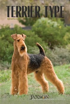 Jaxson - GCh. Penaire's Chip Leader at Longvue Photos   Penaire Airedale Terriers bred by Joan & Bill Clarke