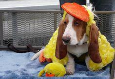 Duck or Basset Hound?