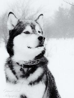 Siberian Husky Snow #SnowDogs Merry Christmas Card Puppy Holiday Dogs Santa Claus Dog Puppies Xmas #HolidayDogs Huskies