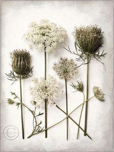 Queen Anne's Lace Flower Print 9 X 12 Fine by BeneathNorthernSkies, $30.00