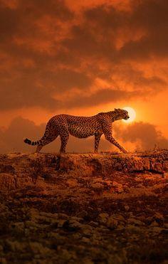 big cat, cheetah, animal pictures, orang, african safari, sunset, ralph waldo emerson, leopard, beautiful creatures