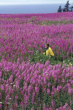 field of fireweed wildflowers, Kenai Peninsula, Alaska