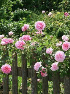 Alice Temperley: 15 reasons to love being British - English Rose Gardens