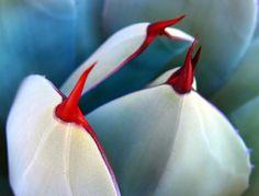 Agave Thorns in Sonoran Desert, via Flickr.