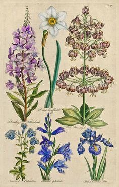 Floral studies including Rosebay Willow Herb, Poetrick Daffodill, Lilium martagon, Inverted Columbine, Oriental Gladiole, Striped Bulbous Iris. Date 1757 by John Hill.  Source theantiquarium.com