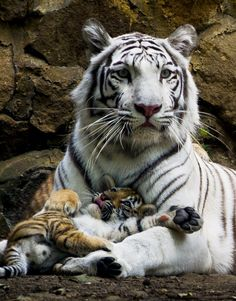 Indira, a bengal white tigress, lies down with one of her three cubs at the zoo of Cali, Colombia, on February 6, 2014. The three cubs were born on November 30, 2013