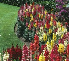 Hardy Perennial Snapdragon Collection. These overachievers do it all. Not only are they winter hardy, these colorful beauties beat the heat, enjoy extended bloom time, multiply every year, tolerate diverse soil conditions & produce long stems of flowers that make wonderful bouquets. Eternal Hope=delights w clusters of large pink flowers w touch of orange in center. Snap Daddy Yellow=bright & color of sunshine. Dulcinea's Heart=more subdued in soft, rich yellow & apricot hues. Roberta's.