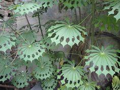 leaves of tapioca plant