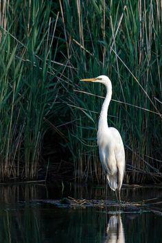 Great Egret, Sunken Meadow State Park, Long Island, NY