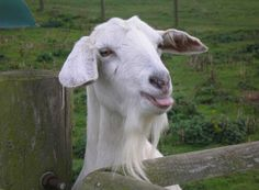 goats, raspberri, happy birthdays, boston, lawn