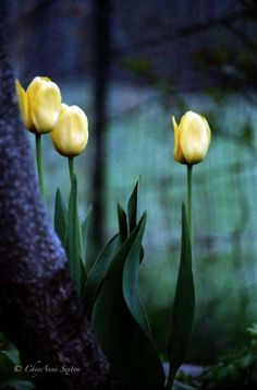 yellow tulips photo card by CheyAnneSexton on Etsy, $5.00