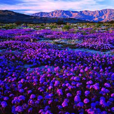 The beauty of Anza-Borrego Desert State Park's wildflower bloom―often the best in California, and one of the best in all the West―is not just the physical display but its ephemeral nature. This is glory on the go.