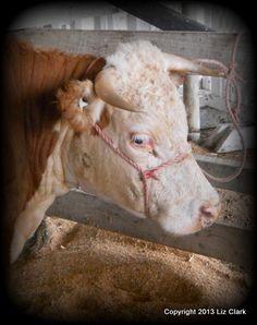 "Miniature Hereford Cow ""Emma"" from Riverlets Miniature Hereford Stud Matakohe. #Farming #Cattle"