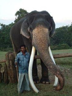 Royal Tusker: Elephant Santhosh and Mahout Kethan, Mudumalai Tiger Reserve in Tamil Nadu, India via thehindu.