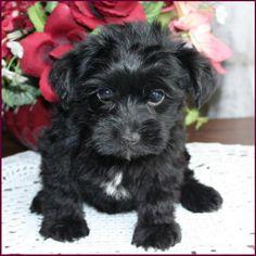 anim, puppies, yorki poo, old dogs, yorkie poo puppy, yorkie poos, poo puppi, yorkshire terriers, yorkiepoo dog