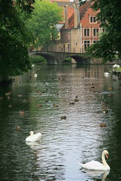 Les cygnes de Bruges (Belgique) | Flickr - Photo Sharing!