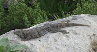 Iguana at Tulum, Mexico