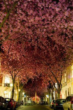 Túnel Cherry Blossom, Alemania.  El túnel de la flor de cerezo (Heerstrabe) se encuentra en la ciudad alemana de Bonn. Está situado en una calle tranquila, que formó un pasillo hecho con una serie de hermosos árboles de cerezos. El momento perfecto para visitarlo, obviamente es en la primavera alemana.