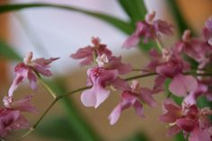 Oncidium Rosy Sunset 'Pacific Satin' - See it at The Orchid Show www.chicagobotani...